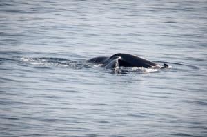 baleine spear-01