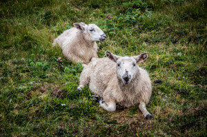 moutons-01